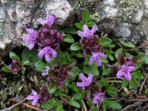 Thymus-serpyllum
